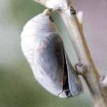 Fábula da Borboleta